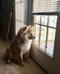 Do Shiba Dogs Shed by Hey Guys Any Room For A Woolly Shiba U0027round These Parts Shiba