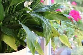 einblatt spathiphyllum bekommt braune blätter das hilft jetzt