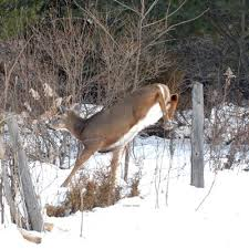 When Do Whitetails Shed Their Antlers by Whitetail Deer Antler Shed Hunting Has Started Ripple Outdoors