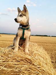 Do Malamutes Shed Hair by Alaskan Malamute Dog Breed Information Pictures Characteristics
