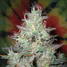 Blueberry x Northern Lights cannabis indica weed