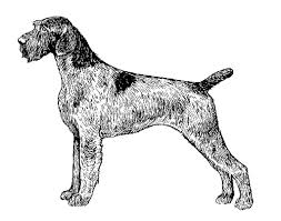Griffon German Wirehaired Pointer Shedding by Breed Standards German Wirehaired Pointer United Kennel Club Ukc