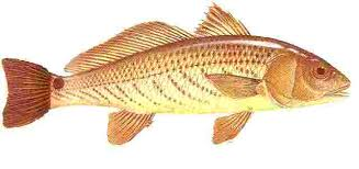 Marine Fish Clipart Redfish 1