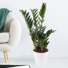 luftreinigende pflanzen blumenshop de inkl gratis übertopf