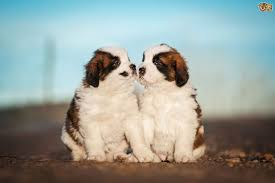 Do Smooth Coat St Bernards Shed by Saint Bernard Dog Breed Information Buying Advice Photos And
