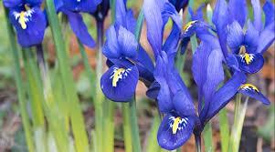 planting mini iris bulbs growing specie iris