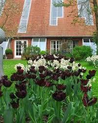 tulip emperor collection tulpen tulips bulbs