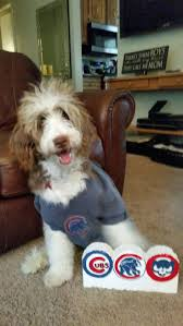 Do F1 Aussiedoodles Shed by 37 Best Aussiedoodle Images On Pinterest Doodles Puppies And