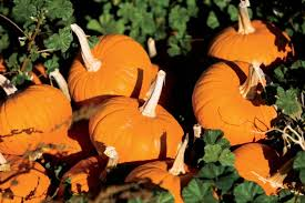 Keep My Pumpkin From Rotting by Raise Your Own Pumpkins Tips For Drying Saving And Planting