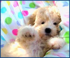Small Non Shedding Dogs Australia by 100 Non Shedding Small Dogs Australia Silky Terrier Dog