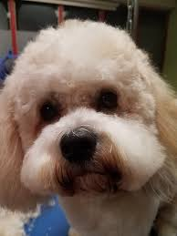 Do Jackie Bichon Shed by Waggs Dog Grooming U0026 Pet Accessories Home Facebook