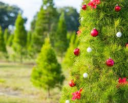 Eustis Christmas Tree Farm by Announcement Archives Photos By Kevin Davis