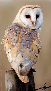 2061 Best Owl Images On Pinterest | Barn Owls, Children And Draw Barn Owl Outdoor Alabama Owl Wikipedia Trust On Twitter Cservation Handbook A Wednesday Birdnation Wirral Home Facebook Audubon Field Guide Review Course By Martin Oconnor Arbtech Legal Status The Rspb Eastern Singapore Birds Project Barnowltrust Owls Owls Of The Niagara Region
