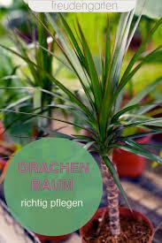 drachenbaum dracaena richtig pflegen gießen und vermehren