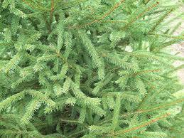 Christmas Tree Types by Trees Bluebird Christmas Tree Farm