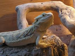 Bearded Dragon Shedding Process by The Bearded Dragons Den