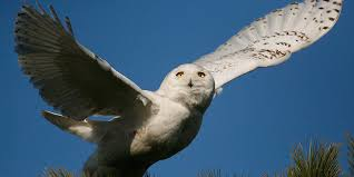 Snowy Owl Mark Brown