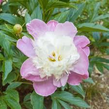 pivoine herbacee en pot pivoine herbacée paree plantes et jardins