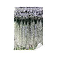 fototapete eine blühende pflanze spanisches moos tillandsia usneoides pixers wir leben um zu verändern