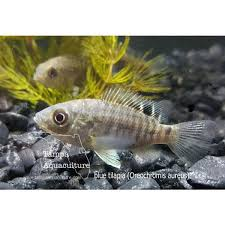 Blue Tilapia Fingerlings 3 4 1 Inch