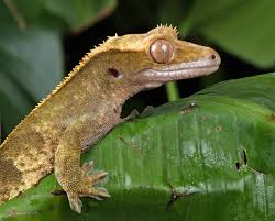 Crested Gecko Shedding Help by Crested Gecko Health Keeping Your Crested Gecko Fit And Healthy