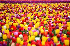tulip houston triumph mix dutchgrown