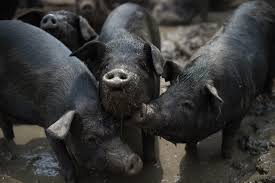 China 'backyard' Pig Farmers Squeezed As Sector Scales Up | Asia Times Pin By Pat Wozniak On Pork Pinterest Business Planning Afc Pig Farm Ecomavrovic How To Raise Pastured Pigs Without Buying Feed Httpwww Tammi Jonas Food Ethics Farming Plan Sample Dsc Raising Pros Cons The Prairie Homestead Figueroa Breeding Gguinto Bulacan Youtube Gloucestershire Old Spot Pigs And That Farm There Was To Make Your Own Pig Feed The Organic Farmer Heaven What Makes Free Range Different Downtoearth 54 Best Images Farming Backyard In Nigeria Detail Post Practical Traing Its Time Front Yard Farmer