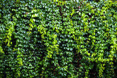 Green Ivy Wall Texture Bright And High Contrast Royalty Free Stock Images