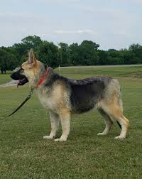 Shedding Blade German Shepherd by Ayers Legends German Shepherds Presents Corona Corona Is A Large
