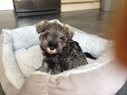 Do Giant Schnauzer Dogs Shed Hair by Miniature Schnauzer Puppies For Sale Ilkley West Yorkshire