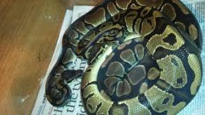 Ball Python Shedding Eating by Ball Python Reptiles Rehome Buy And Sell In Hertfordshire