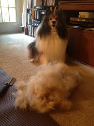 Sheltie Shedding In Clumps by Image Gallery Sheltie Shedding