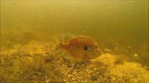 Pumpkin Seed Sunfish Pictures by Pumpkinseed X Bluegill Hybrid Defends His Nest Against Small