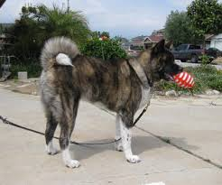 Do Akitas Shed Hair by Akitadogs Akita Dog Breed Info U0026 Pictures Petmd