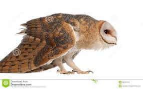 Barn Owl, Tyto Alba, 4 Months Old, Standing Stock Images - Image ... Standing Twelve Weekold Barn Owl Side View Stock Photo Getty Images Boxes South Downs National Park Authority Old Man Of Minsmere Aka John Richardson Gorgeous Birds In Folklore Owls And Ravens Randomdescent Orbit The 5 Weekold Baby Who Has Been Hand Ared By Owl Wikipedia Coda Falconry On Twitter Our 7 Week Old Barn Was Bred At Dont Go Deaf New Zealand Geographic Australian Masked Rescuing Owls Tropic Wonder Audubon Art Print Vintage Nature Bird Eyfs Blog Archive Wise