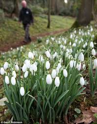 79 best gf snowdrops lilly of the valley images on