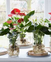 how to repot an anthurium tips on repotting anthurium plants