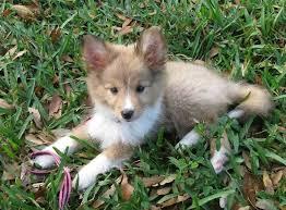 Sheltie Shedding Puppy Coat by Poshie Pomeranian X Sheltie Mix Info Temperament Training