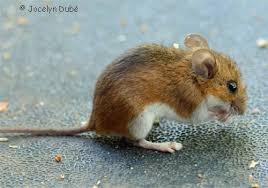 la souris petit animal rongeur