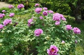 pivoine herbacee en pot pivoine arbustive jardiner avec jean paul
