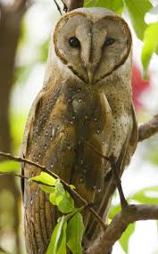 162 Best Owl's Images On Pinterest | Owls, Barn Owls And Children Watch The Secret To Why Barn Owls Dont Lose Their Hearing 162 Best Owls Images On Pinterest Barn And Children Stock Photos Images Alamy Owl 10 Fascating Facts About Species List Az 210 Birds Drawing Photographs Of Cave By Tyler Yupangco 312 Beautiful Birds