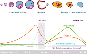 Shedding Of Uterine Lining Before Period by Menstrual Cycle Hormones And Their Effects In Different Menstrual