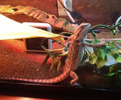 Bearded Dragon Heat Lamp Times by The Proper Way To Set Up A Bearded Dragon Enclosure 5 Steps With