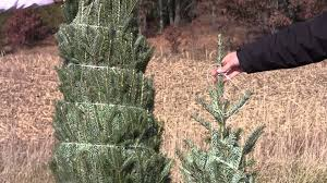 Fraser Fir Christmas Trees North Carolina by Live Fraser Fir Christmas Trees Learn About Your Real Tree Youtube