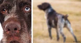 German Wirehaired Pointer Shedding by German Wirehaired Pointers Active Hard Working Breed