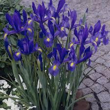 iris flower bulbs garden plants flowers the home depot