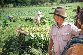 Tobacco Farm Worker In Fields Vinales Cuba