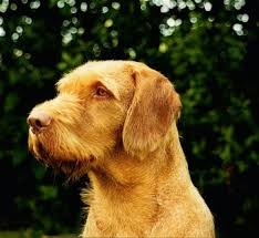 When Do Vizslas Shed Their Puppy Coat by Wirehaired Vizsla Dog Breed Information And Pictures