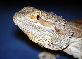 bearded dragon care sheet caring for your pet dragon