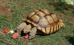 Snapping Turtle Shell Shedding by Sulcata Tortoise With A Pyramiding Shell